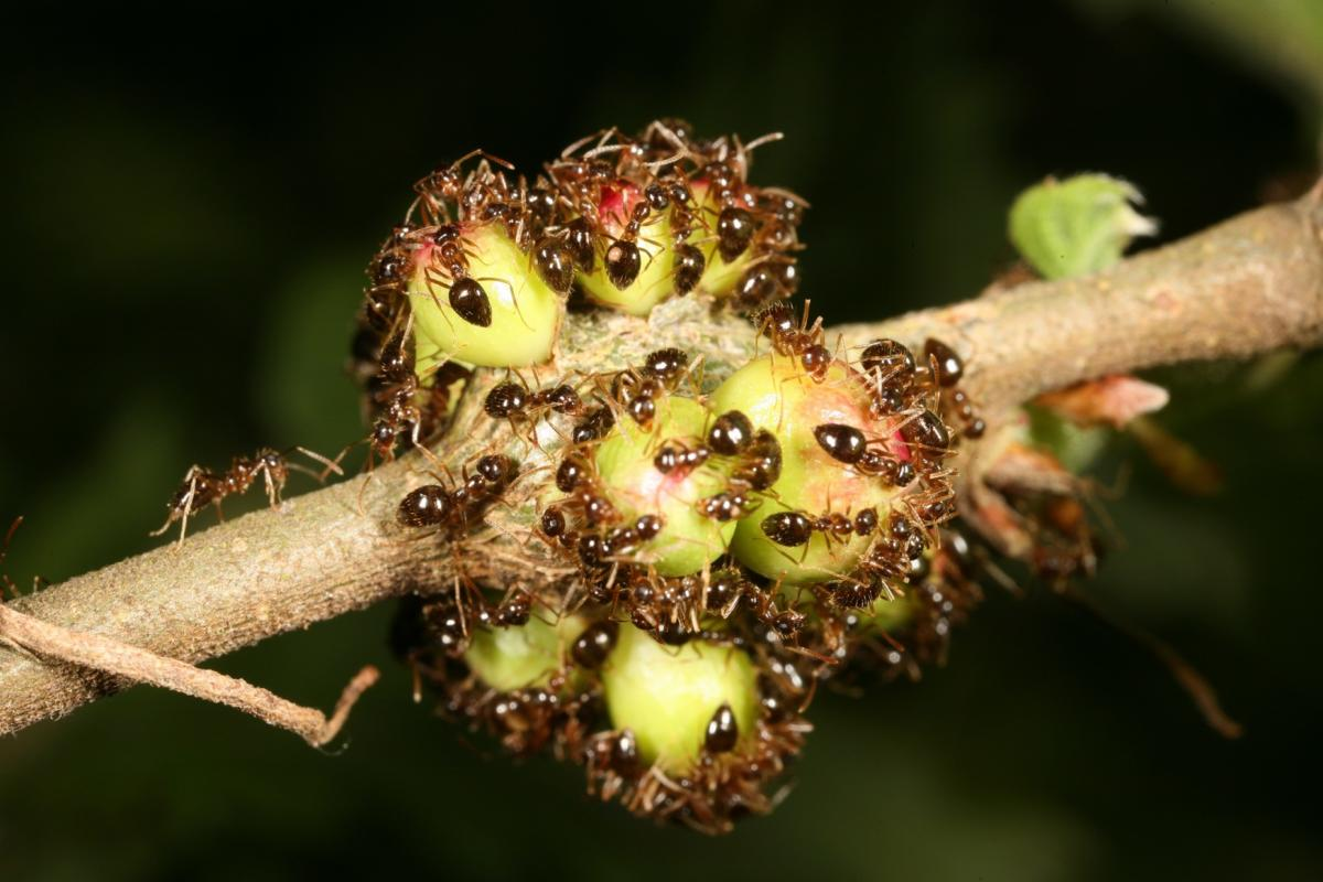 Hamis mézesbödönhangyák